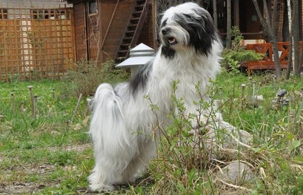 Тибетский-терьер-собака-Описание-особенности-виды-цена-и-уход-за-породой-20