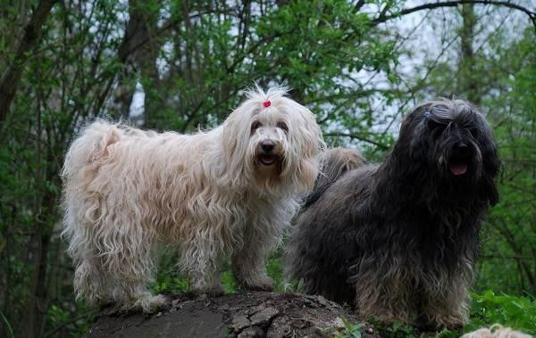 Тибетский-терьер-собака-Описание-особенности-виды-цена-и-уход-за-породой-4