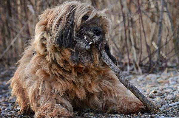 Тибетский-терьер-собака-Описание-особенности-виды-цена-и-уход-за-породой-5
