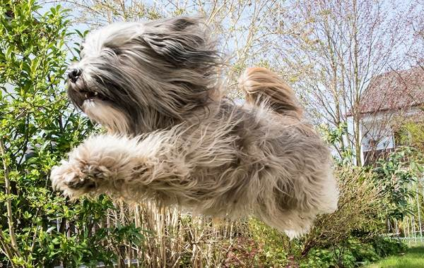 Тибетский-терьер-собака-Описание-особенности-виды-цена-и-уход-за-породой-7