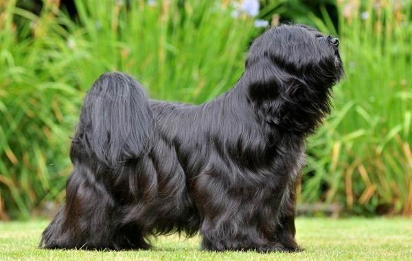 Тибетский-терьер-собака-Описание-особенности-виды-цена-и-уход-за-породой-8