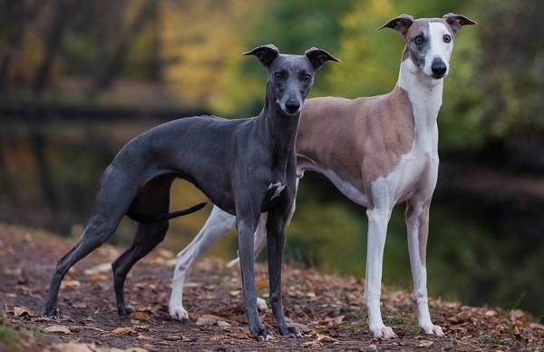 Уиппет-порода-собаки-Описание-особенности-виды-уход-и-цена-уиппета-10