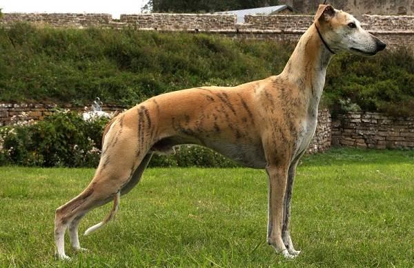 Уиппет-порода-собаки-Описание-особенности-виды-уход-и-цена-уиппета-11