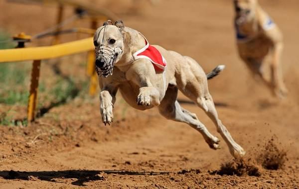 Уиппет-порода-собаки-Описание-особенности-виды-уход-и-цена-уиппета-12