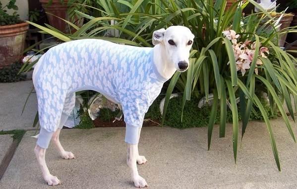 Уиппет-порода-собаки-Описание-особенности-виды-уход-и-цена-уиппета-14