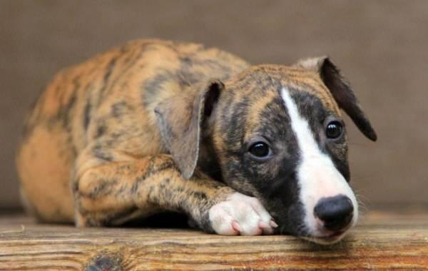 Уиппет-порода-собаки-Описание-особенности-виды-уход-и-цена-уиппета-15