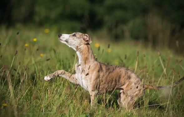 Уиппет-порода-собаки-Описание-особенности-виды-уход-и-цена-уиппета-16