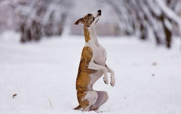 Уиппет-порода-собаки-Описание-особенности-виды-уход-и-цена-уиппета-18