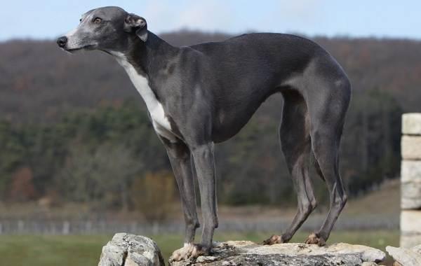 Уиппет-порода-собаки-Описание-особенности-виды-уход-и-цена-уиппета-2