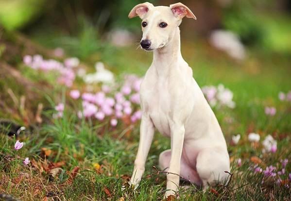 Уиппет-порода-собаки-Описание-особенности-виды-уход-и-цена-уиппета-3