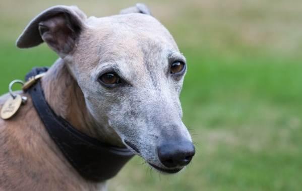 Уиппет-порода-собаки-Описание-особенности-виды-уход-и-цена-уиппета-4