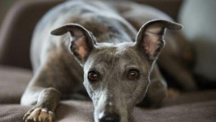 Уиппет порода собаки. Описание, особенности, виды, уход и цена уиппета