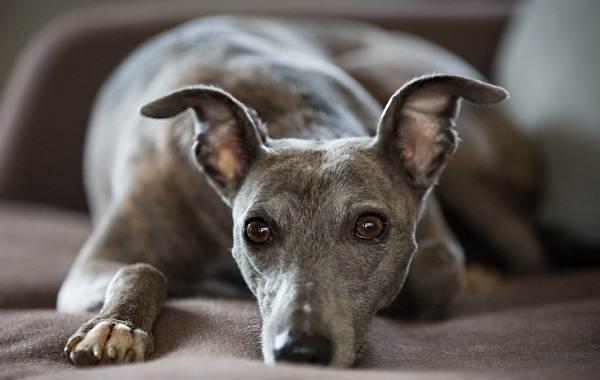 Уиппет-порода-собаки-Описание-особенности-виды-уход-и-цена-уиппета-6