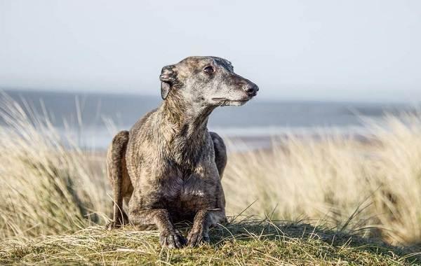 Уиппет-порода-собаки-Описание-особенности-виды-уход-и-цена-уиппета-8