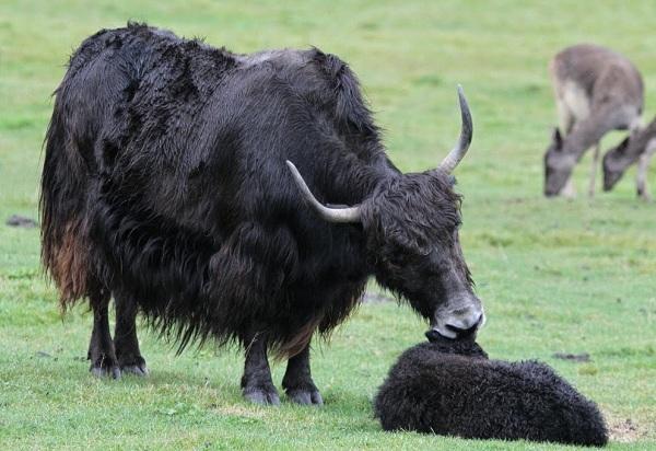 Як-животное-Описание-особенности-виды-образ-жизни-и-среда-обитания-яка-11