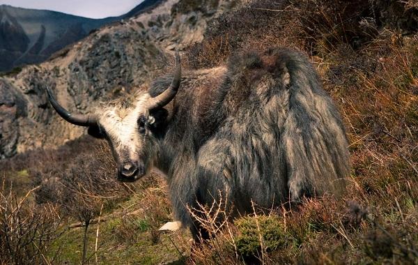 Як-животное-Описание-особенности-виды-образ-жизни-и-среда-обитания-яка-14