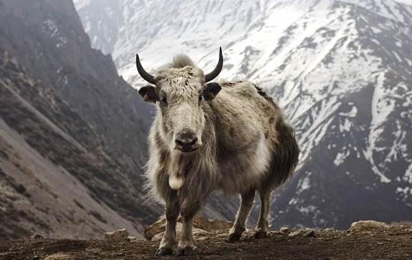 Як-животное-Описание-особенности-виды-образ-жизни-и-среда-обитания-яка-3