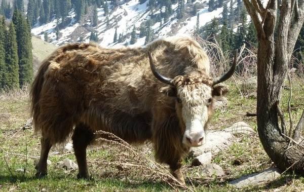 Як-животное-Описание-особенности-виды-образ-жизни-и-среда-обитания-яка-4