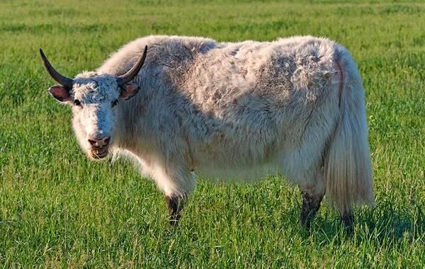 Як-животное-Описание-особенности-виды-образ-жизни-и-среда-обитания-яка-5
