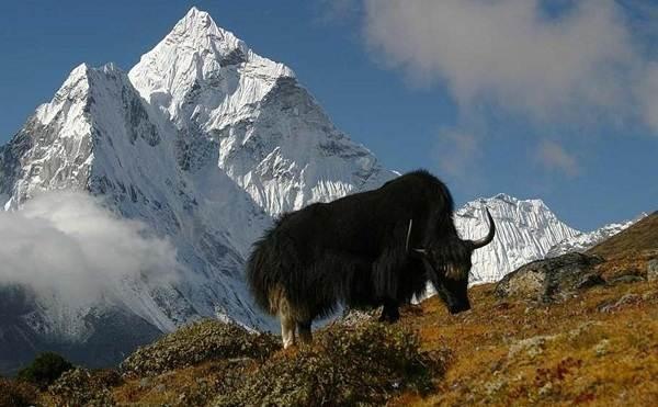 Як-животное-Описание-особенности-виды-образ-жизни-и-среда-обитания-яка-8