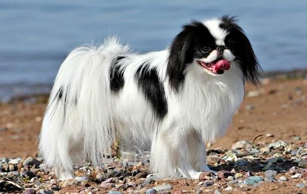 Японский-хин-собака-Описание-особенности-виды-уход-и-цена-породы-10