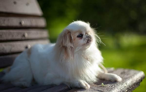 Японский-хин-собака-Описание-особенности-виды-уход-и-цена-породы-11