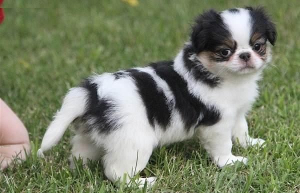 Японский-хин-собака-Описание-особенности-виды-уход-и-цена-породы-14
