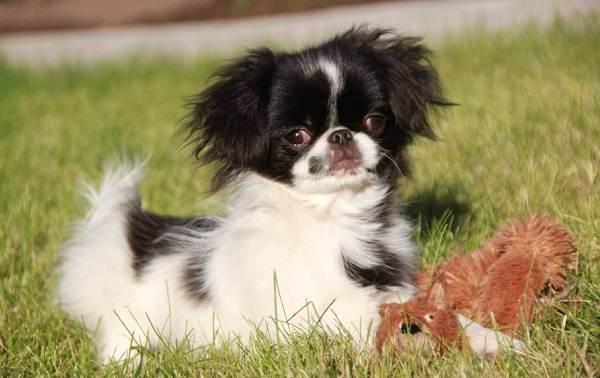 Японский-хин-собака-Описание-особенности-виды-уход-и-цена-породы-17