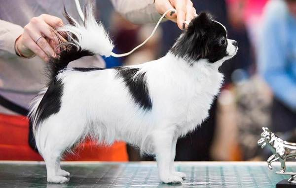 Японский-хин-собака-Описание-особенности-виды-уход-и-цена-породы-18