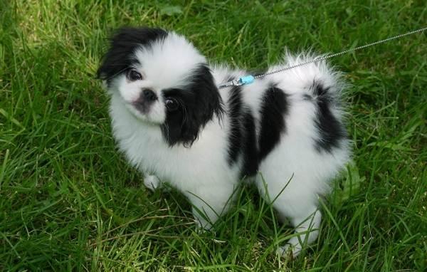 Японский-хин-собака-Описание-особенности-виды-уход-и-цена-породы-19