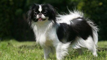 Японский хин собака. Описание, особенности, виды, уход и цена породы