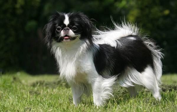 Японский-хин-собака-Описание-особенности-виды-уход-и-цена-породы-2