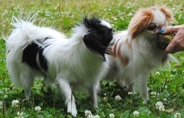 Японский-хин-собака-Описание-особенности-виды-уход-и-цена-породы-20