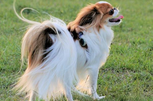 Японский-хин-собака-Описание-особенности-виды-уход-и-цена-породы-22