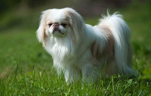 Японский-хин-собака-Описание-особенности-виды-уход-и-цена-породы-3