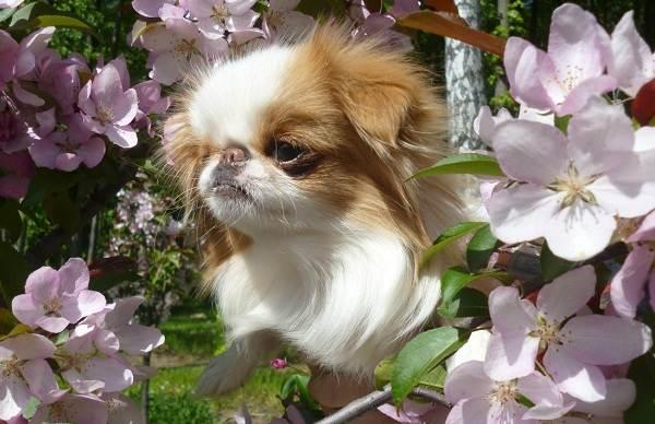 Японский-хин-собака-Описание-особенности-виды-уход-и-цена-породы-4