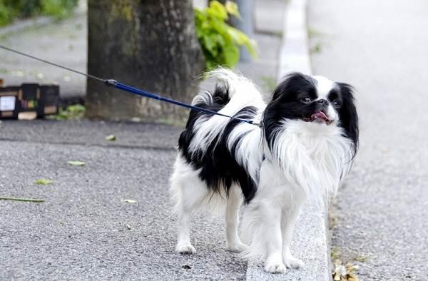 Японский-хин-собака-Описание-особенности-виды-уход-и-цена-породы-5