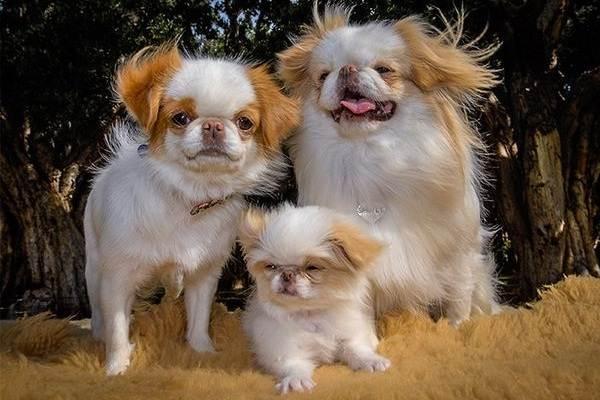 Японский-хин-собака-Описание-особенности-виды-уход-и-цена-породы-6
