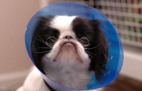 Японский-хин-собака-Описание-особенности-виды-уход-и-цена-породы-8