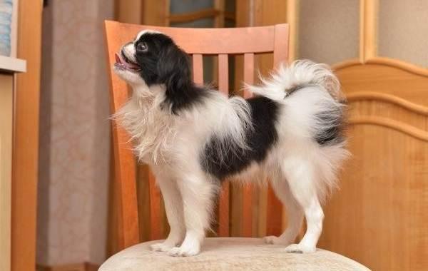 Японский-хин-собака-Описание-особенности-виды-уход-и-цена-породы-9