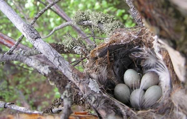 Юрок-птица-Описание-особенности-виды-образ-жизни-и-среда-обитания-юрка-13