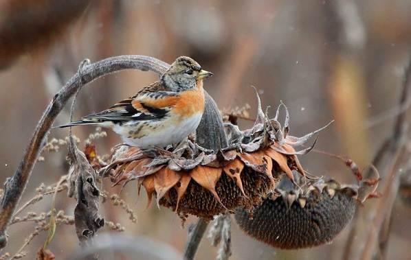 Юрок-птица-Описание-особенности-виды-образ-жизни-и-среда-обитания-юрка-14