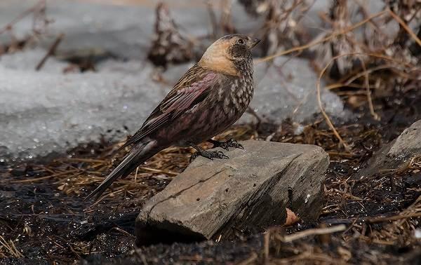 Юрок-птица-Описание-особенности-виды-образ-жизни-и-среда-обитания-юрка-5