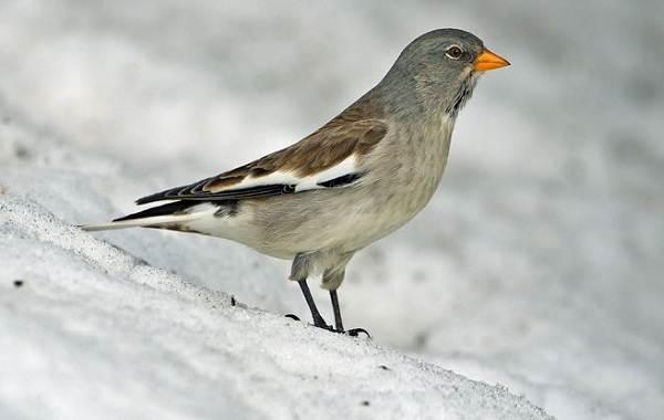 Юрок-птица-Описание-особенности-виды-образ-жизни-и-среда-обитания-юрка-6
