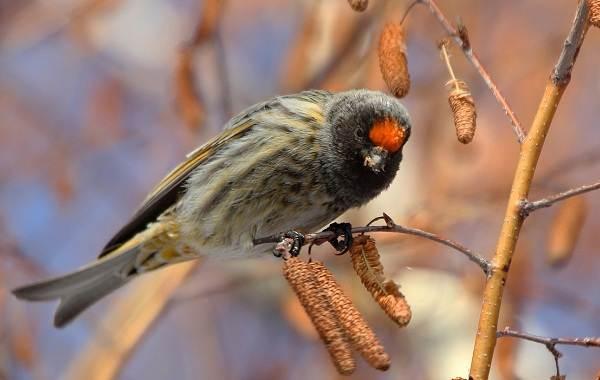 Юрок-птица-Описание-особенности-виды-образ-жизни-и-среда-обитания-юрка-8