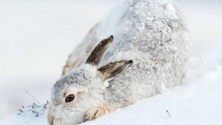 Заяц-беляк животное. Описание, особенности, образ жизни и среда обитания зайца-беляка