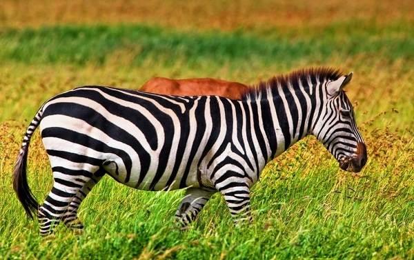 Зебра-животное-Описание-особенности-виды-образ-жизни-и-среда-обитания-зебры-1