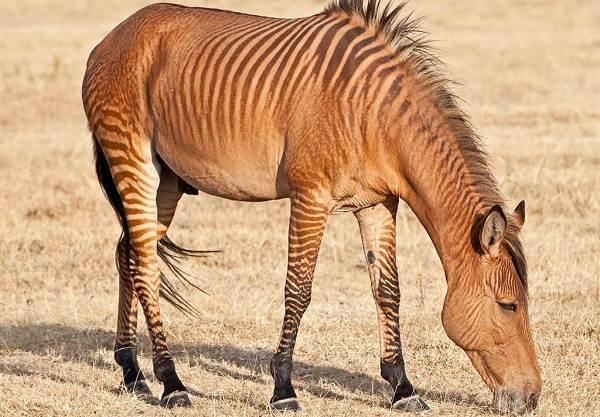 Зебра-животное-Описание-особенности-виды-образ-жизни-и-среда-обитания-зебры-10
