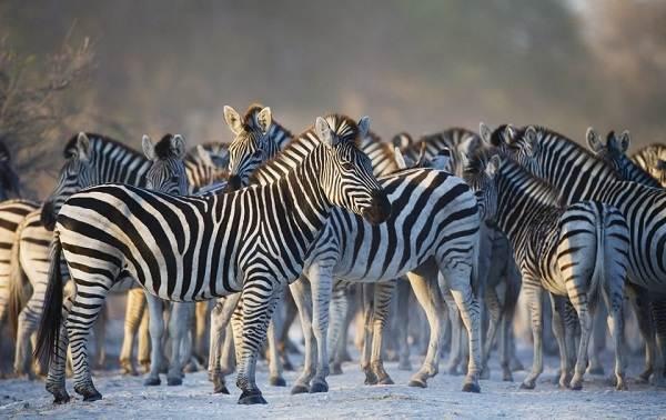 Зебра-животное-Описание-особенности-виды-образ-жизни-и-среда-обитания-зебры-11