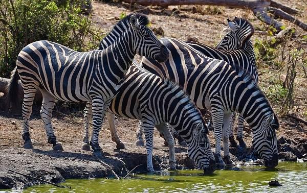 Зебра-животное-Описание-особенности-виды-образ-жизни-и-среда-обитания-зебры-12